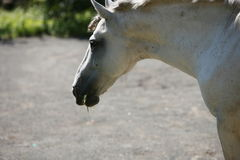 Horse of the white colouration Royalty Free Stock Image