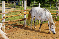 Horse white Royalty Free Stock Photography