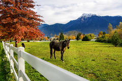 Horse, white fence on a farm in British Columbia, Canada Stock Images