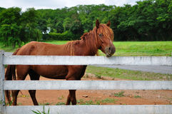 Horse and white fence Stock Photos