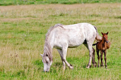 Horse white with a foal Royalty Free Stock Photo
