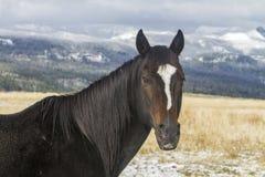 Horse with white forehead blaze, Wyoming Stock Photos
