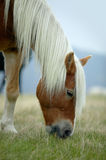 Horse with white mane. Head of a brown horse with white mane Stock Photos