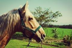 Horse with white mane Stock Image