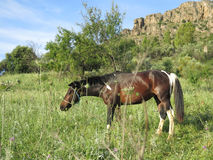 Horse with white markings. Brown horse with white markings grazing in meadow Stock Image