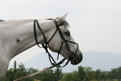 Horse white Stock Images