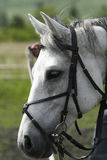 Horse white Royalty Free Stock Image