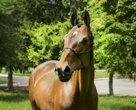 Horse with a white spot on his head stands dressed in a halter on a background of green trees Stock Photos