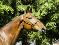 Horse with a white spot on his head stands dressed in a halter on a background of green trees Stock Photography