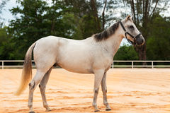 Horse white. The white standing horse in the arena Royalty Free Stock Image