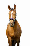 The horse with white stripe. On the white background Stock Photo