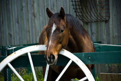 Horse with white wheel Royalty Free Stock Images
