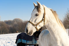 White horse on sunny winter day. White horse and snow covered meadow. White horse on winter evening stock photo