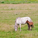 Horse White With A Foal In The Meadow Stock Images