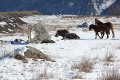 The horse who is getting up from snow on a mountain pasture Stock Photography