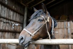 The horse who lives on the farm. July 2015. royalty free stock photography