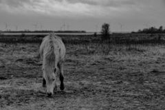 A black and white photo of a horse in the wild. royalty free stock photography