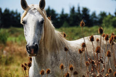 Horse wild of camargue Stock Images