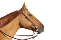Horse with wild eyed look. Isolated on white Stock Photography