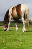 Horse. Wild horse at pasturage Stock Photo