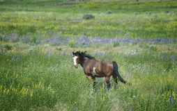 Horse in Wildflowers Royalty Free Stock Photo