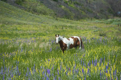 Horse in Wildflowers Stock Images