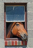 Horse in the window. A horse sticks his head out of the window of his barn royalty free stock images