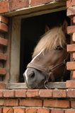 Horse in window. Horse in its stable window Royalty Free Stock Photography
