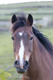 Horse with windswept mane, Ballingskelligs, County Kerry Royalty Free Stock Images