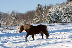 Horse in winter Royalty Free Stock Photo