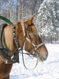 A horse in winter. A harnessed horse in winter forest Stock Photos