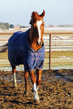 Horse in winter. Sorrel quarter horse in winter blanket in paddock Royalty Free Stock Photos