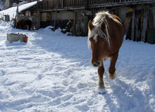 Horse in winter. A horse walking in the snow during winter in Cheneil (Valtournenche - ITALY Stock Photo