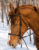 Horse in winter Stock Photography