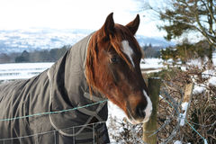 Horse with a Winter Coat On Royalty Free Stock Photography