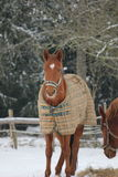 Horse in Winter Coat. Chestnut horse,in the snow with a winter coat on Stock Photos