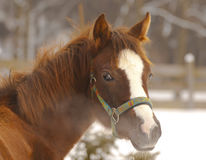 Horse in winter day. Detailed look at the horse standing in a winter paddock (blowing steam from their nostrils Royalty Free Stock Photo