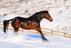 Horse in winter field Stock Image