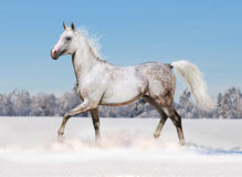 Horse in winter field Stock Photography