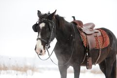 Horse in the winter field Royalty Free Stock Photography