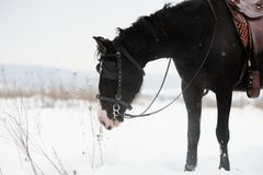 Horse in the winter field Stock Images
