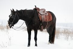 Horse in the winter field Royalty Free Stock Photo