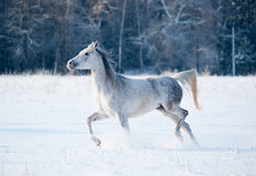 Horse in winter field Royalty Free Stock Images