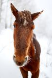Horse in winter forest Royalty Free Stock Image
