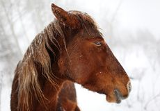 Horse in winter forest Stock Images