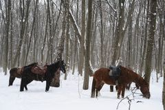 Horse in the winter forest Royalty Free Stock Photography
