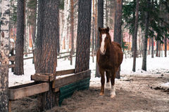 Horse in winter forest Royalty Free Stock Photography