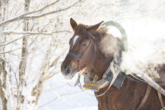 Horse in winter forest Royalty Free Stock Images