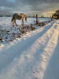 Horse in winter. On fresh snow Royalty Free Stock Photos
