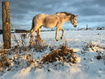 Horse in winter. On fresh snow Stock Images
